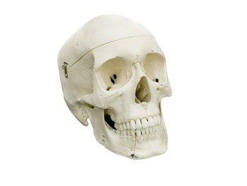 Czaszka człowieka, model anatomiczny
