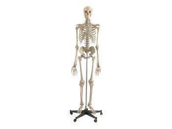 Szkielet człowieka model 180 cm, cechy szczególne