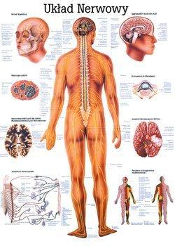 """Tablica medyczna """"System nerwowy"""" (laminowana)"""