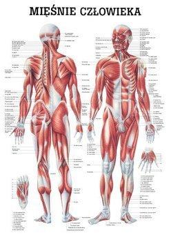 """Tablica medyczna """"Układ mięśniowy"""""""
